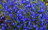 Bright Blue flower background — Stock fotografie