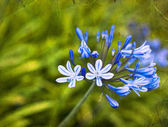 African Lily Blue flowers — ストック写真
