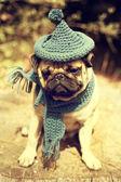 щенок мопса со шляпой гнома — Стоковое фото