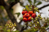 Shrub with lots of red berries — Stock Photo