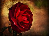 Red pink rose — Photo