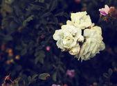 美しいバラの花 — ストック写真