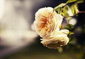 желтые розы — Стоковое фото