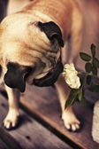 Little pug puppy with white rose — Stock Photo