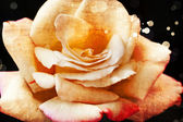 Schöne rosa rose — Stockfoto