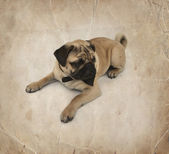 Pug puppy with bow tie — Stock Photo