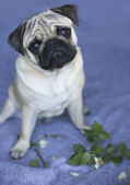 Little pug puppy — Stock Photo