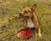 Red colored pit bul mix dog — Stock Photo