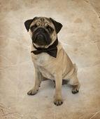 Pug puppy with bow tie — ストック写真