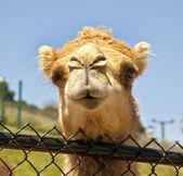 Funny camel — Stock Photo
