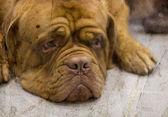 French Mastiff dog — Stock Photo
