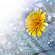 Yellow dandelions — Stock Photo #51355555