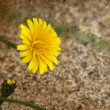 Yellow dandelions — Stock Photo #51356927