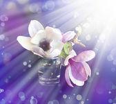 Magnolia flowers — Stock Photo
