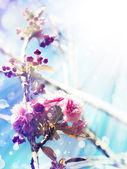 Beautiful cherry tree flowers — Stock Photo