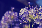 African Lily Blue flowers — Stok fotoğraf