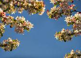 árvore de cereja de florescência — Fotografia Stock