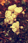 Białe róże z kroplami rosy — Zdjęcie stockowe