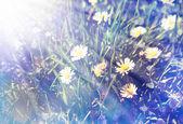 Campo de flores de manzanilla — Foto de Stock