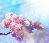 Flores de cerezo hermosa — Foto de Stock