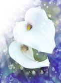 White calla lilies — Stock Photo