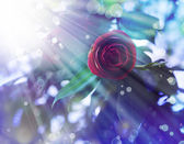 Pink rose with dew drops — Stock Photo