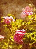 Geranium flowers in garden — Stock Photo