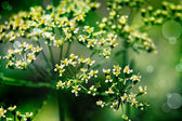 Fresh parsley flower — Stock Photo