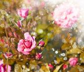 Rose rosa con gocce di rugiada — Foto Stock