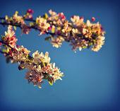 Flowering cherry tree — Stock Photo