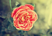 Rose in vintage style — Stock Photo