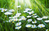 Field of chamomile flowers — Stock Photo