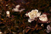 White roses with dew drops — Stock Photo