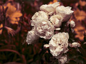 White roses with dew drops — Stockfoto