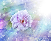 Růžová růže s kapkami Rosy — Stock fotografie