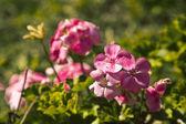 Geranium flowers in garden — Stock fotografie