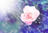 White rose with dew drops — Stock Photo