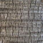 Coco palm detail bark texture — Stock Photo #51361201