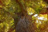 Big autumn tree from botom — Stock Photo