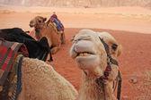 Kamelen — Stockfoto