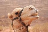 Wielbłąd — Zdjęcie stockowe