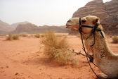 Camello — Foto de Stock