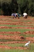Bird on rice fields — Stock Photo