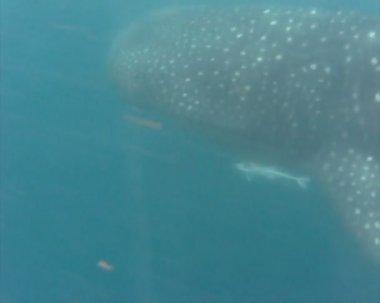 Whale shark swimming — Stock Video