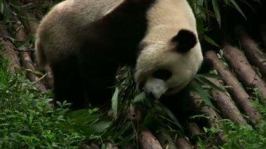 Panda bears — Stock Video