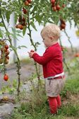 Baby girl gathers ripe sweet tomatoes — Stock Photo
