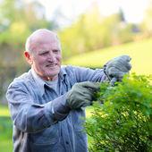 Senior man cutting rose bushes — Fotografia Stock