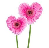 粉红色格柏 — 图库照片