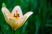 Lily — Stock Photo
