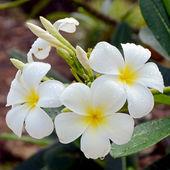 White and yellow Plumeria spp. (frangipani flowers, Frangipani, Pagoda tree or Temple tree) with rain drops on natural background. — Stock Photo